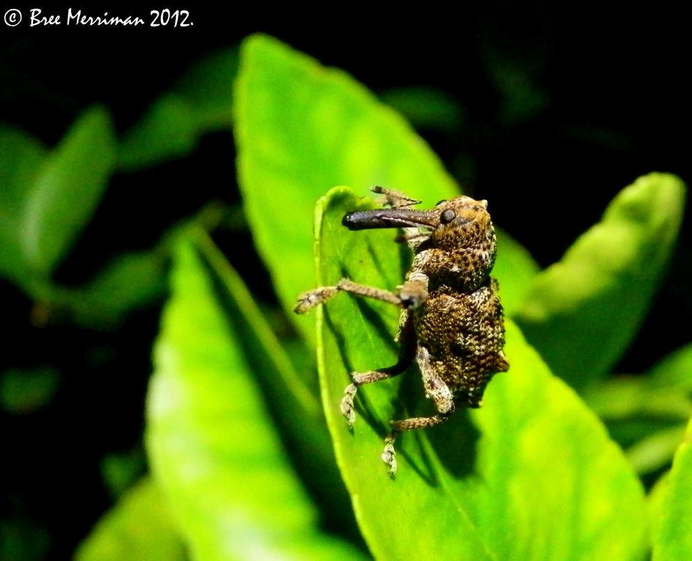 Elephant Weevil by BreeSpawn