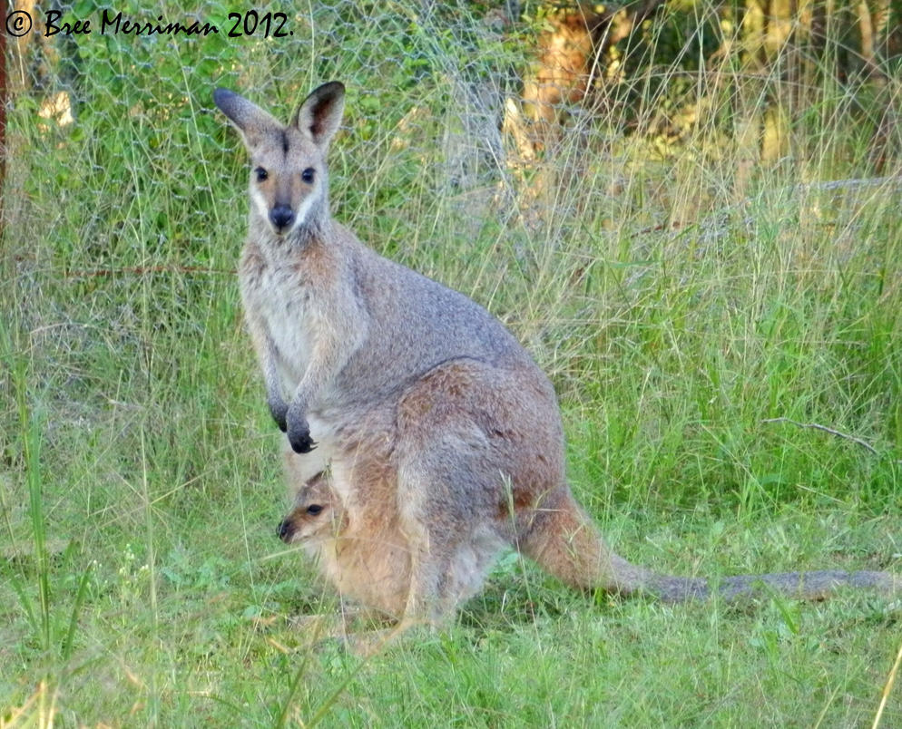 Red-Necked Wallaby With Joey by BreeSpawn