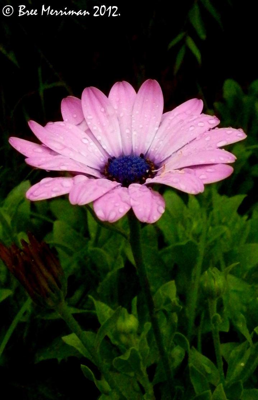 Purple Daisy by BreeSpawn