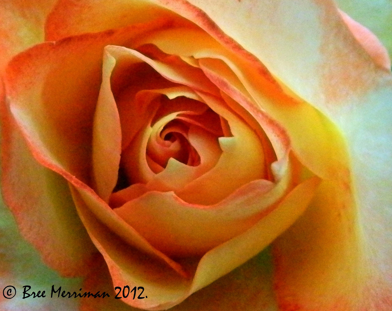 Rose Macro by BreeSpawn