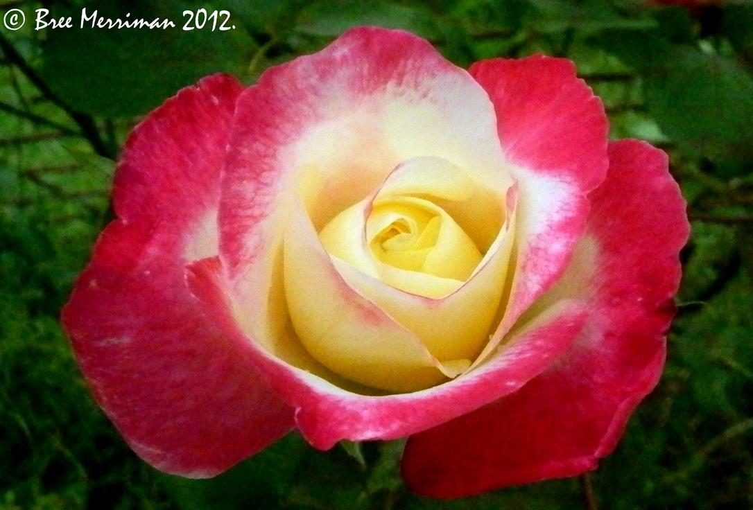 Joyful Rose by BreeSpawn