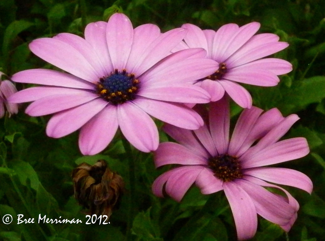 Purple Daisy II by BreeSpawn