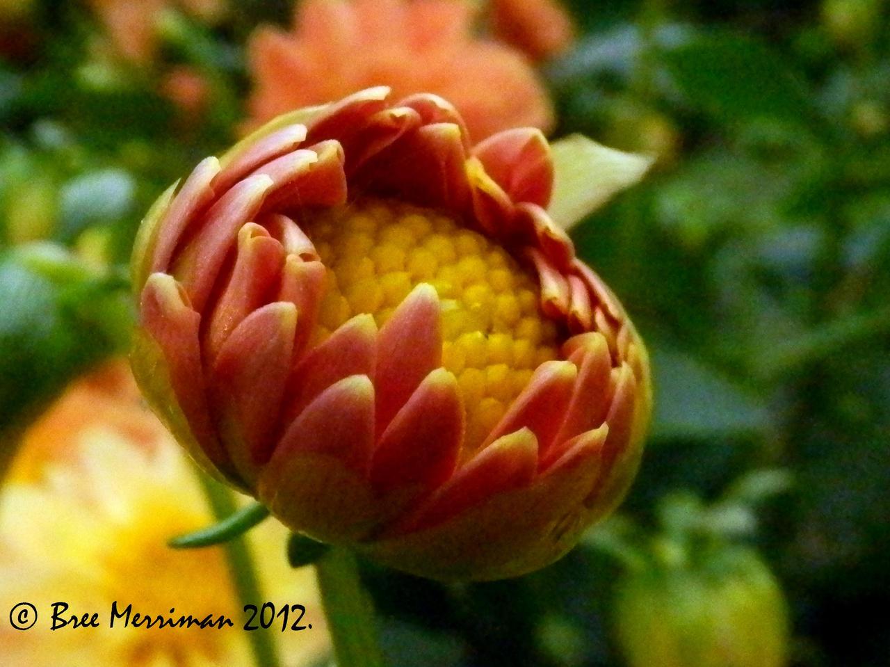 Dahlia Flower Bud by BreeSpawn