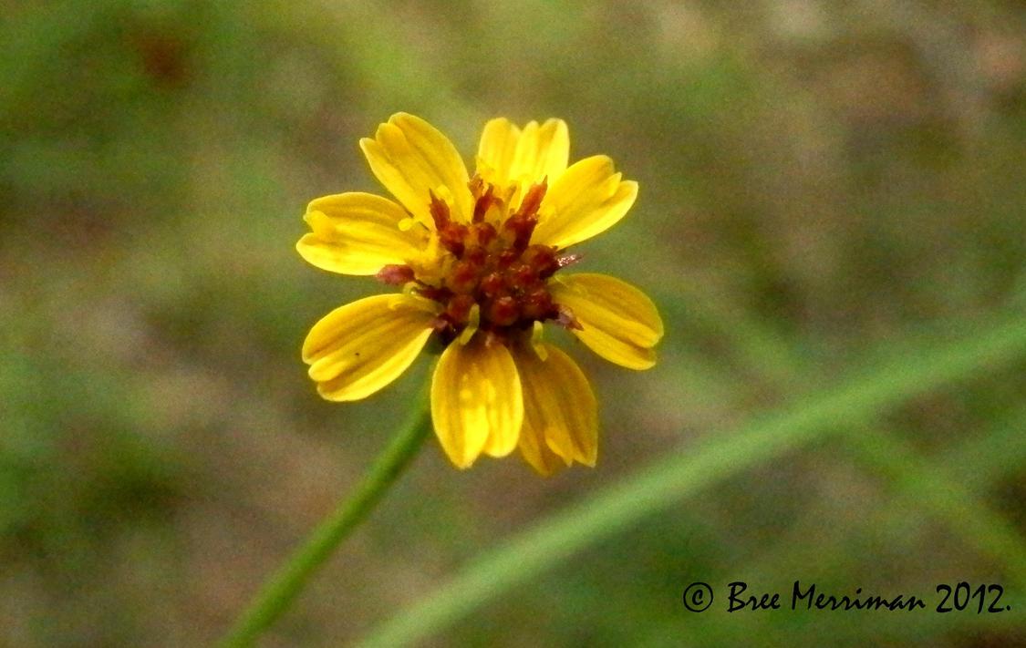 Macro Tiny Native Flower by BreeSpawn