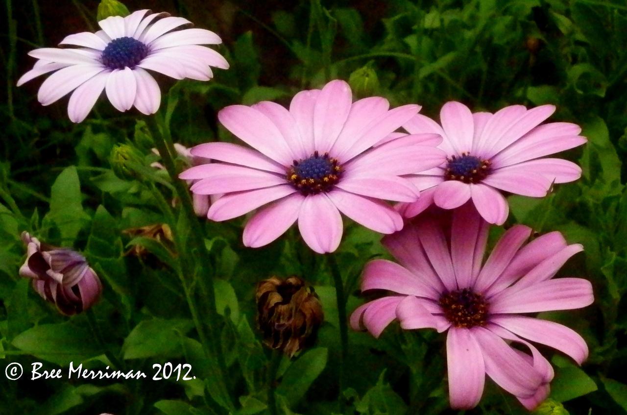 Purple Daisy III by BreeSpawn