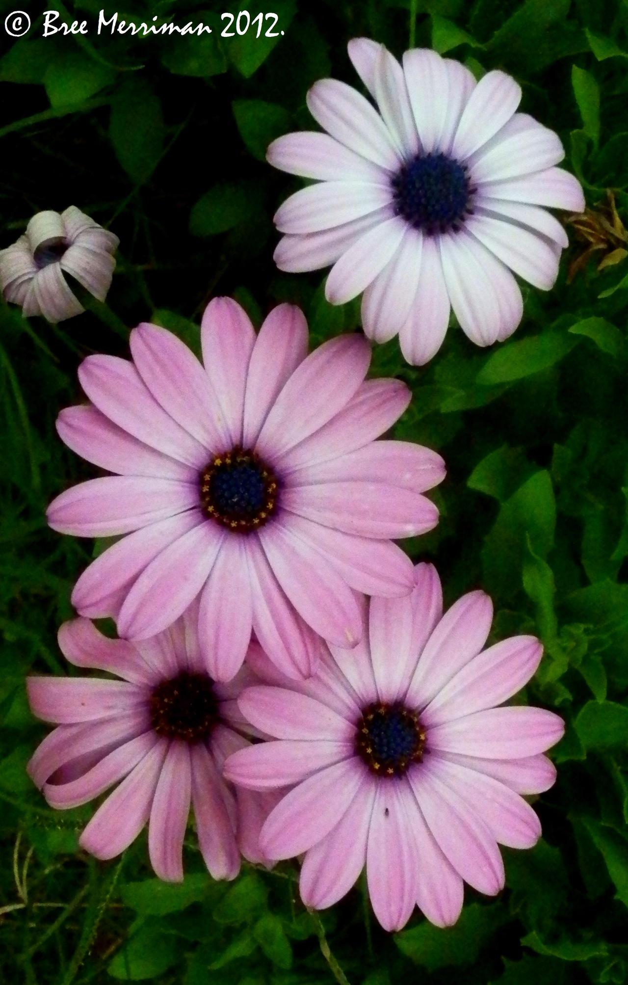 Purple Daisy IV by BreeSpawn