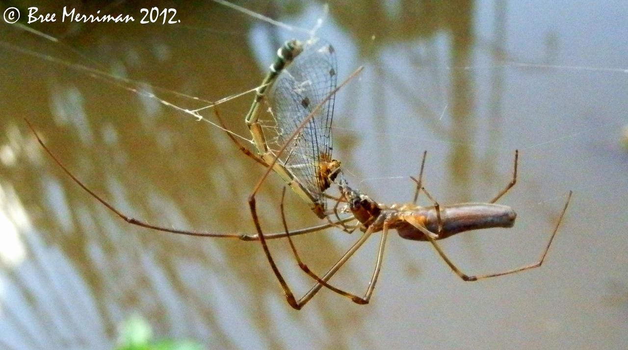 Net-Casting Spider by BreeSpawn