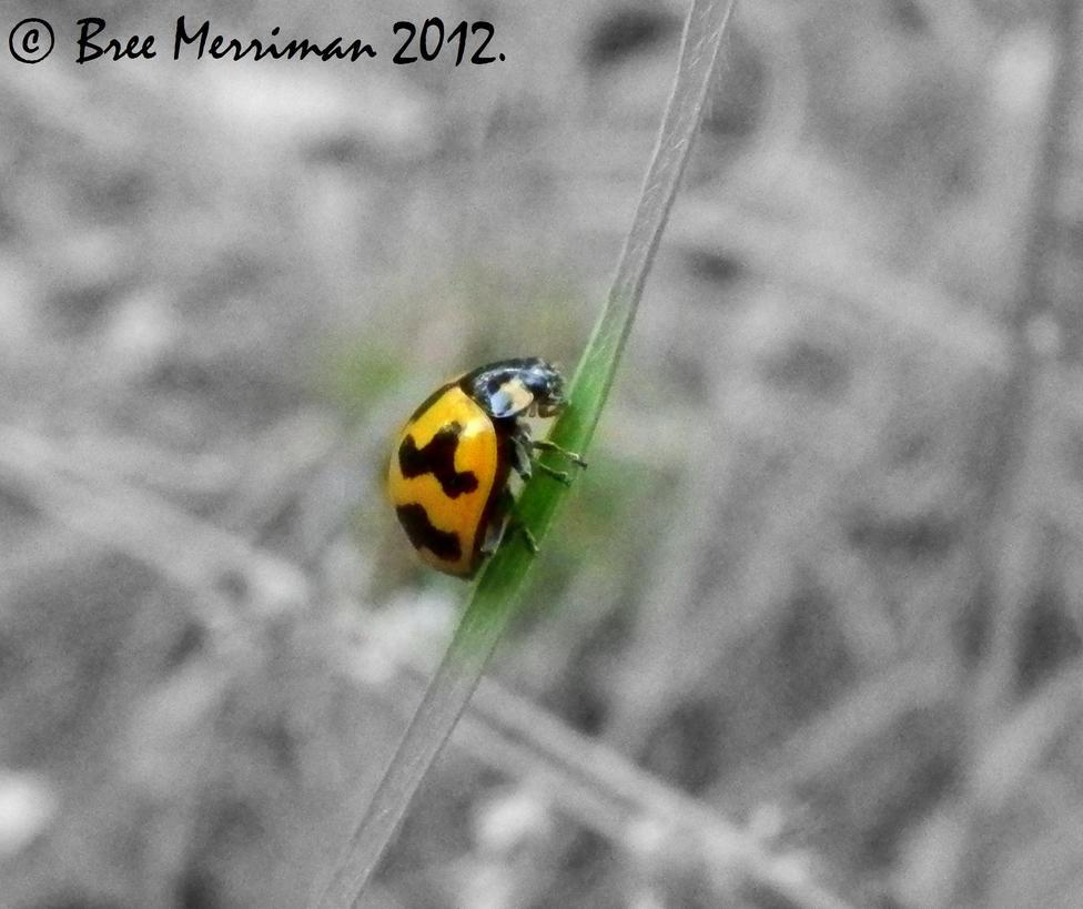 Fungus-eating Ladybird by BreeSpawn