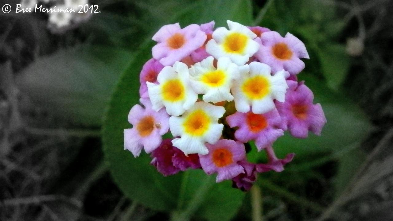 Lantana Flower by BreeSpawn