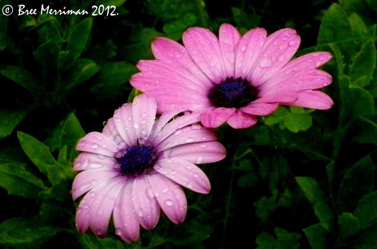 Purple Daisy V by BreeSpawn