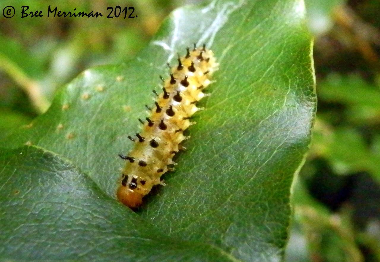 Caterpillar by BreeSpawn