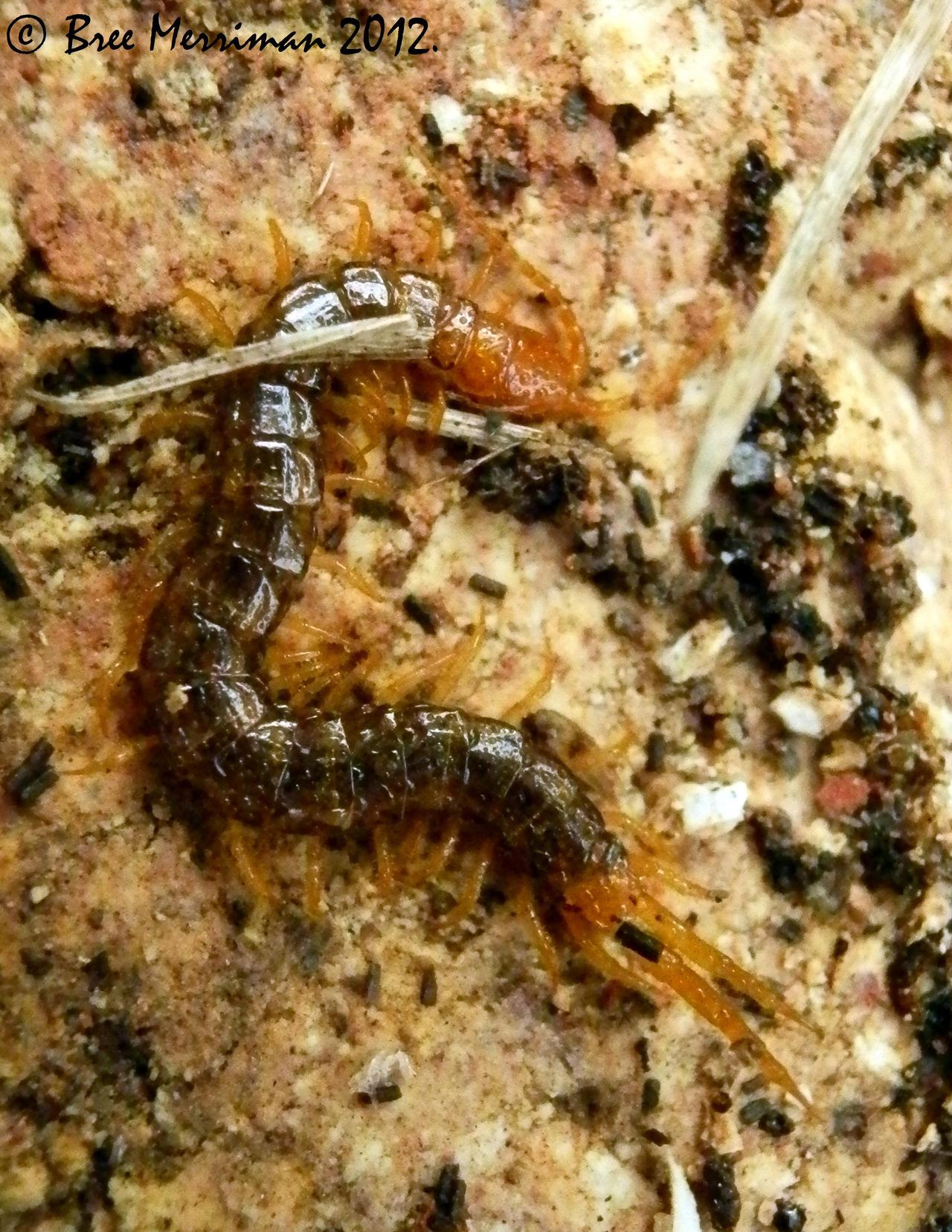 Centipede by BreeSpawn