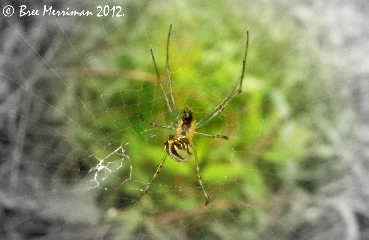 Araneidae Spider by BreeSpawn