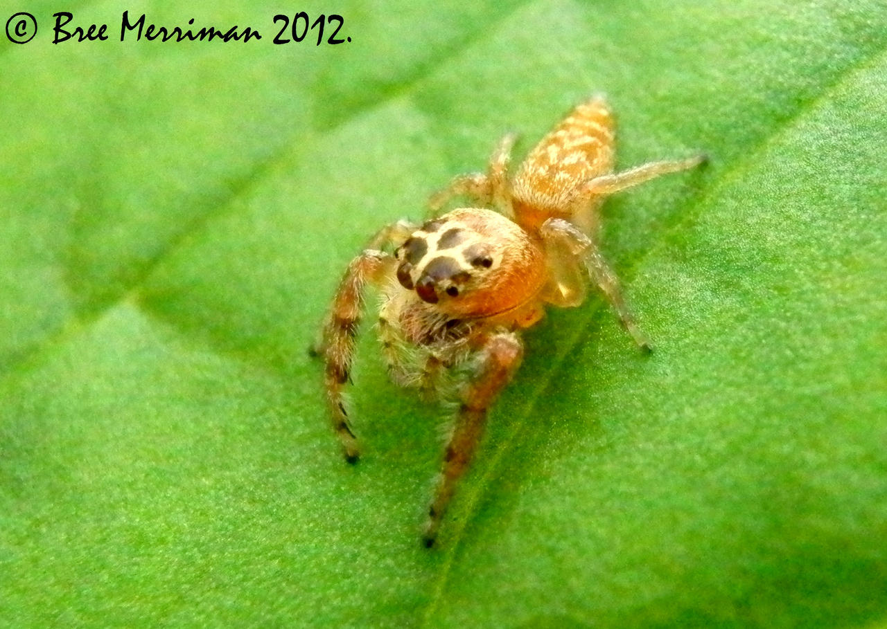 Jumping Spider V by BreeSpawn
