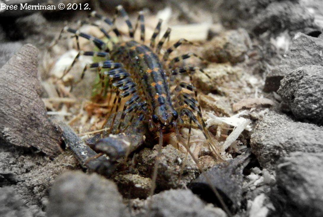 Centipede II by BreeSpawn
