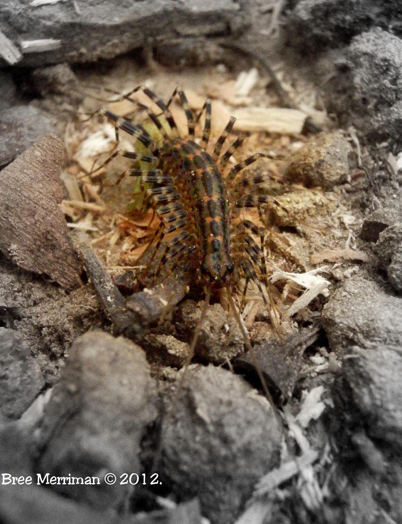 Centipede III by BreeSpawn