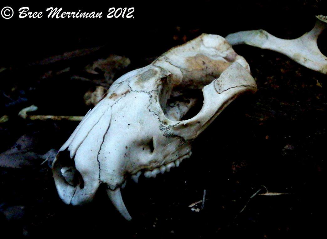 Quoll Skull III by BreeSpawn