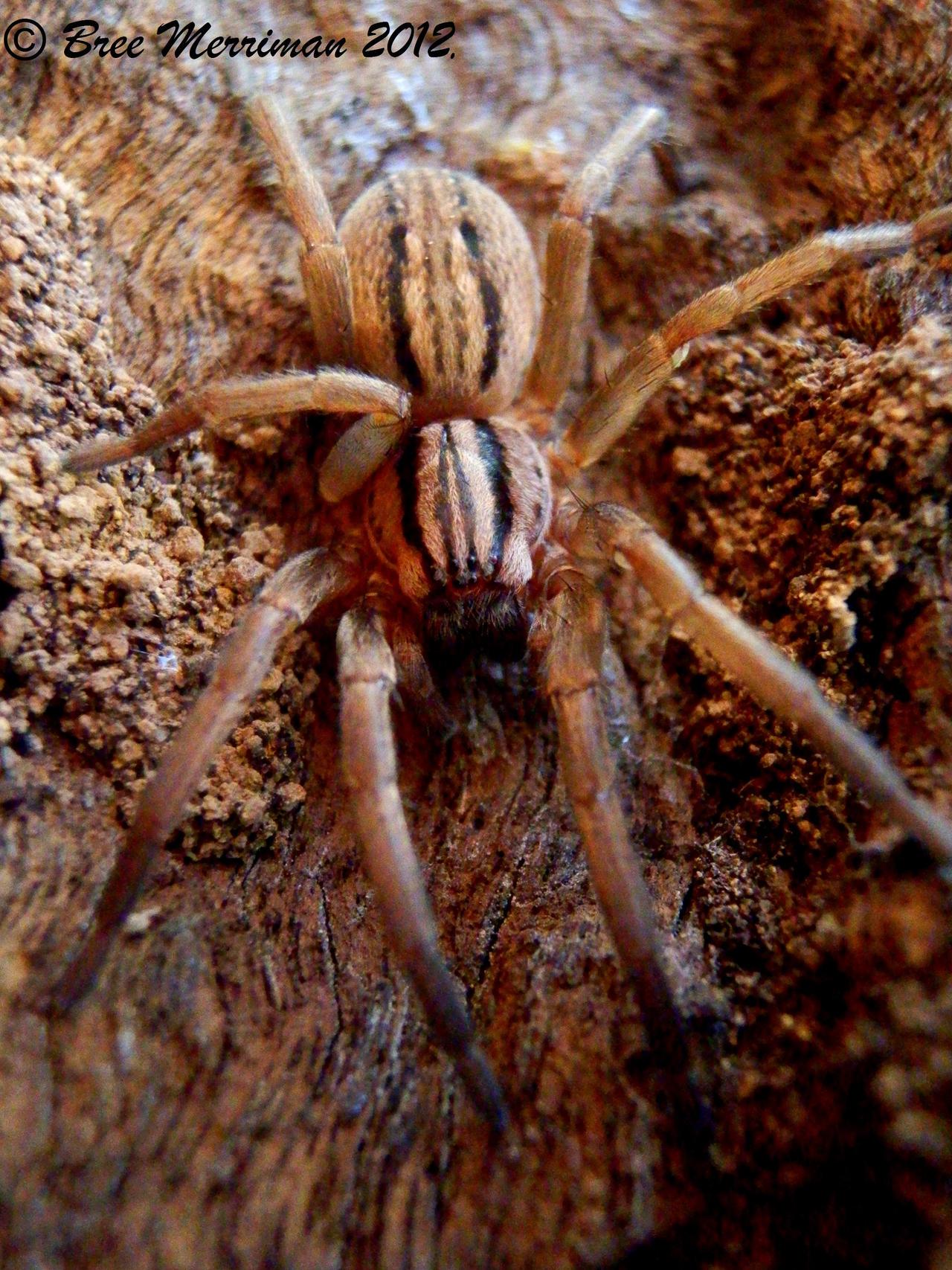 Wolf Spider II by BreeSpawn