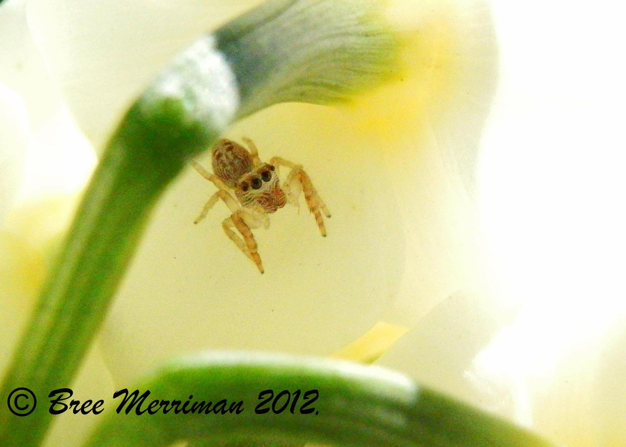 Jumping Spider IX by BreeSpawn