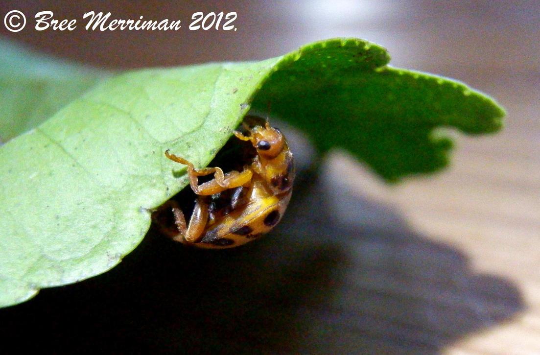 21 Spot Bug by BreeSpawn