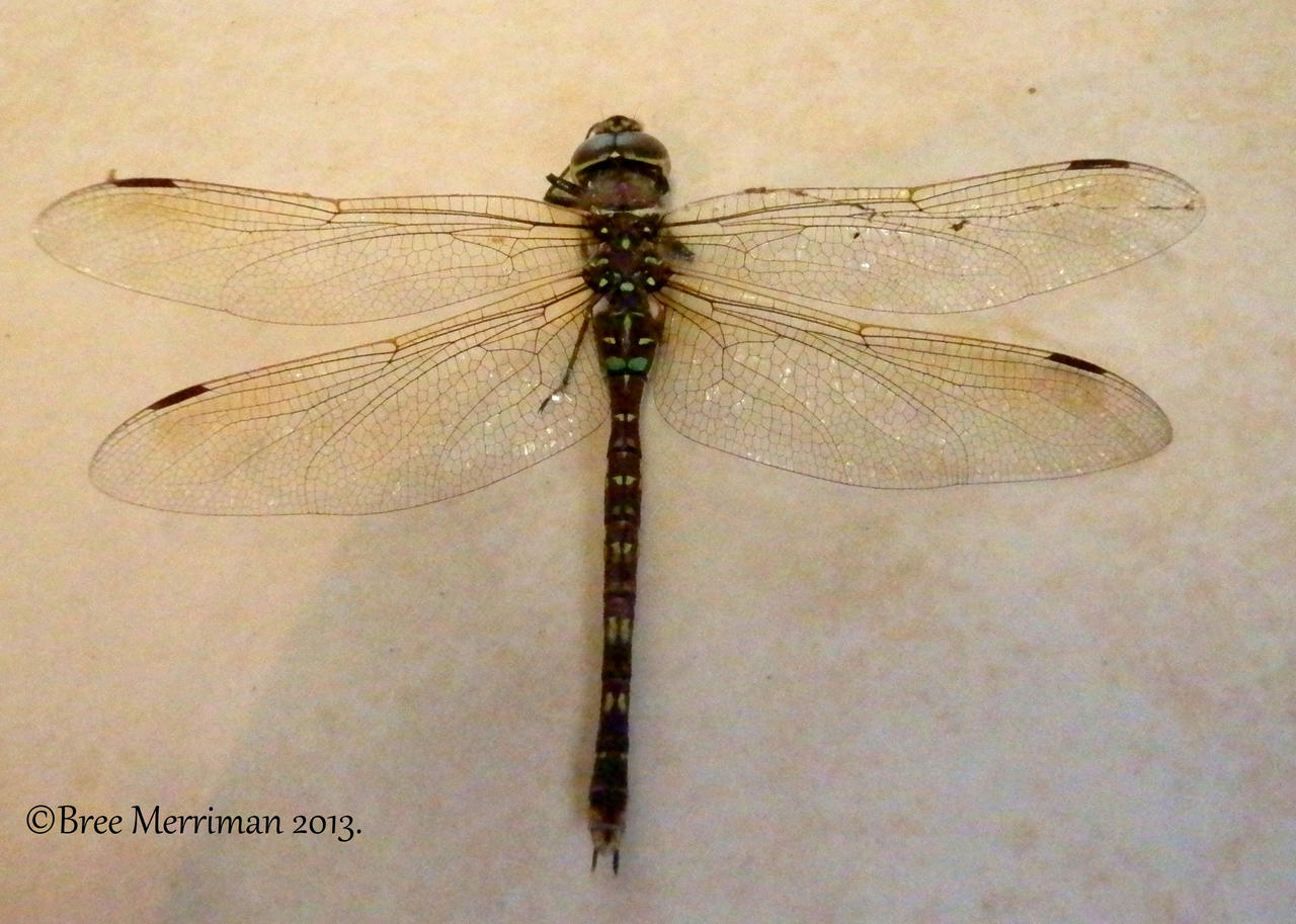 Dragpnfly Mugshot by BreeSpawn