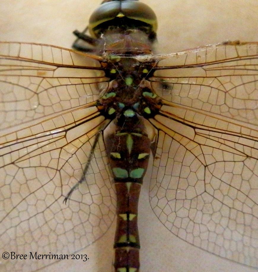 Dragpnfly Mugshot II by BreeSpawn