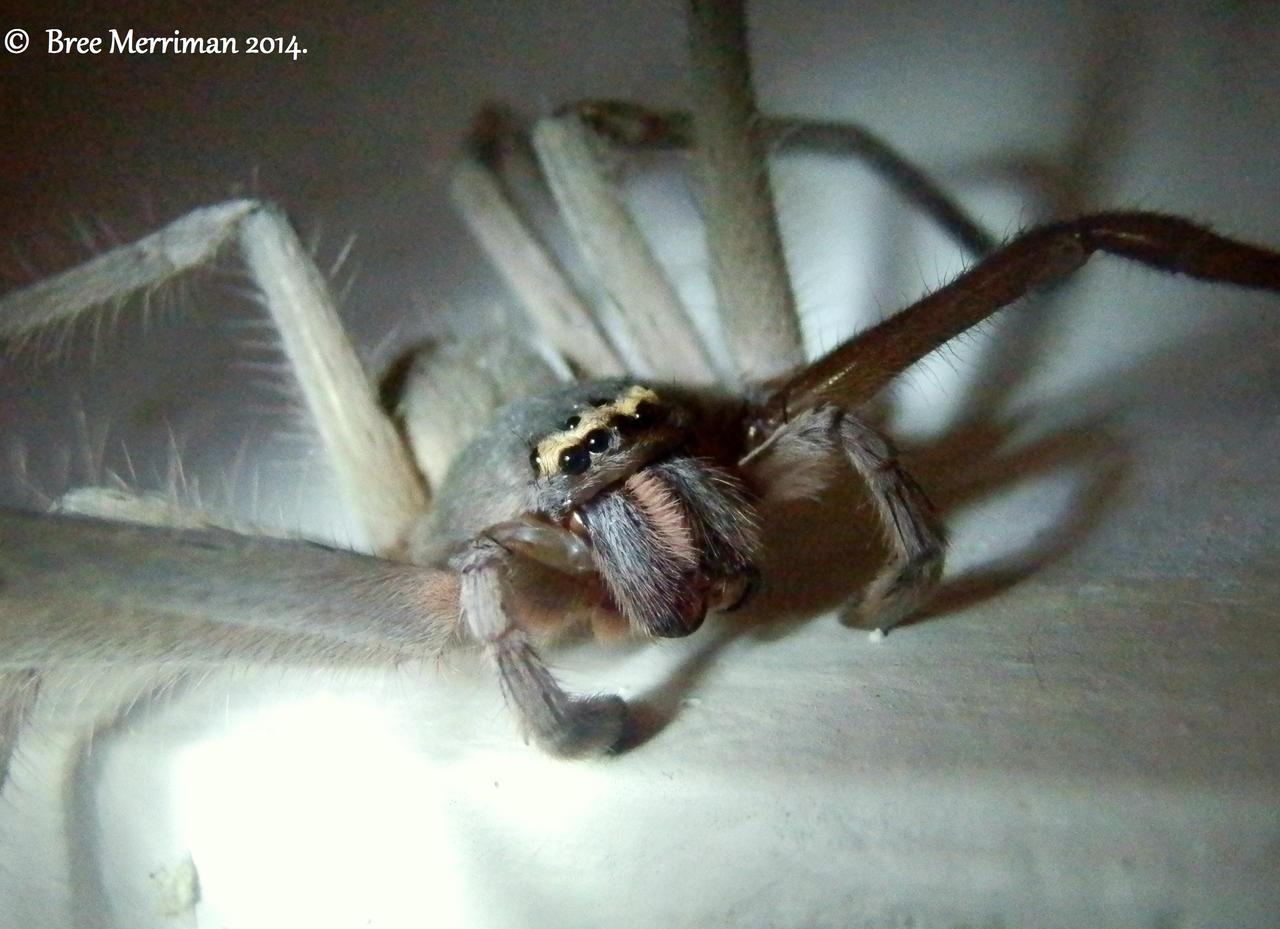Huntsman Spider by BreeSpawn