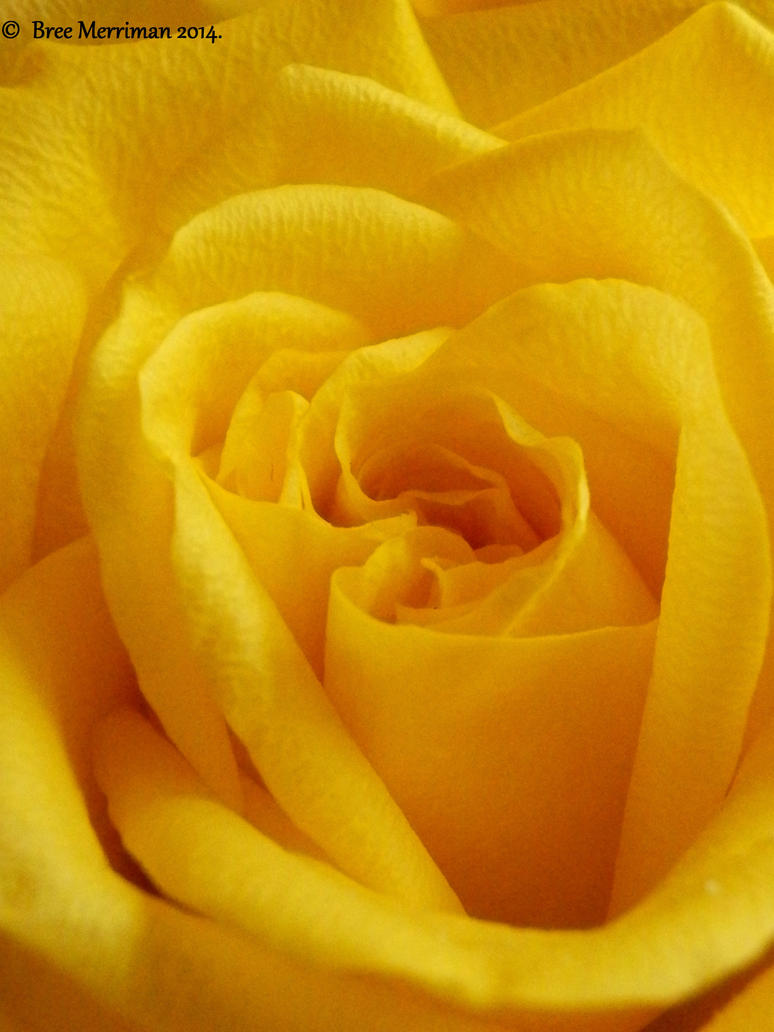 Yellow Rose Macro I by BreeSpawn