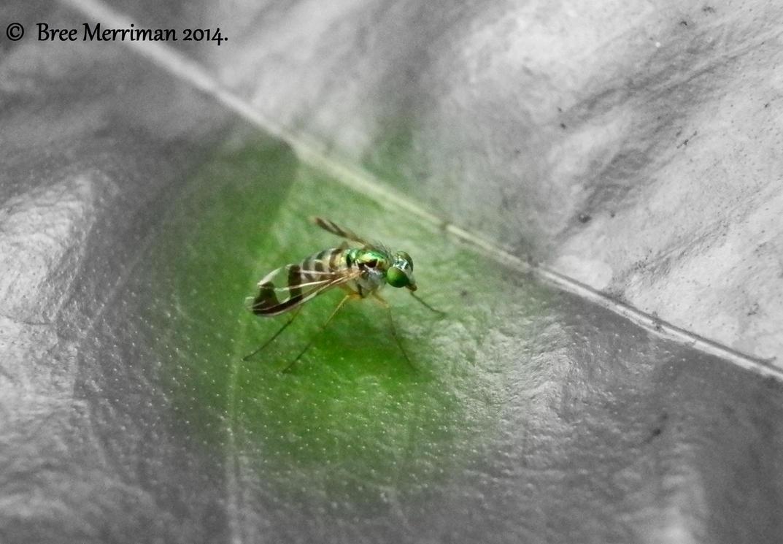 Iridescent Green Long-Legged Fly by BreeSpawn