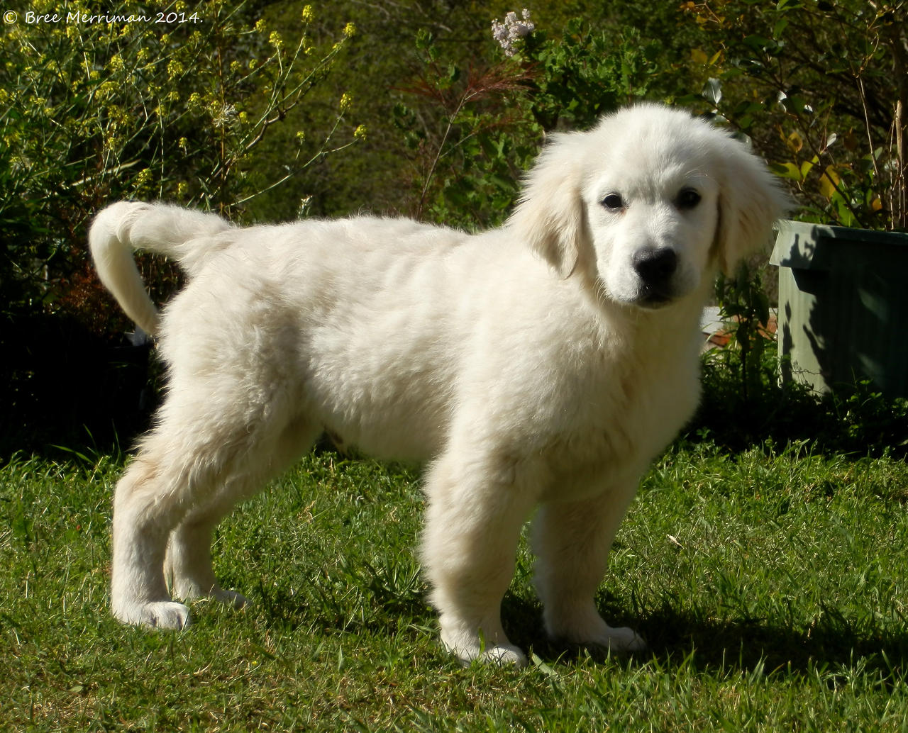 Golden Retriever Puppy  I by BreeSpawn