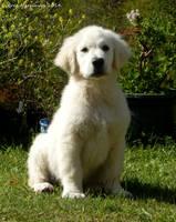 Golden Retriever Puppy  II by BreeSpawn