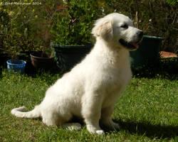Golden Retriever Puppy  IV by BreeSpawn