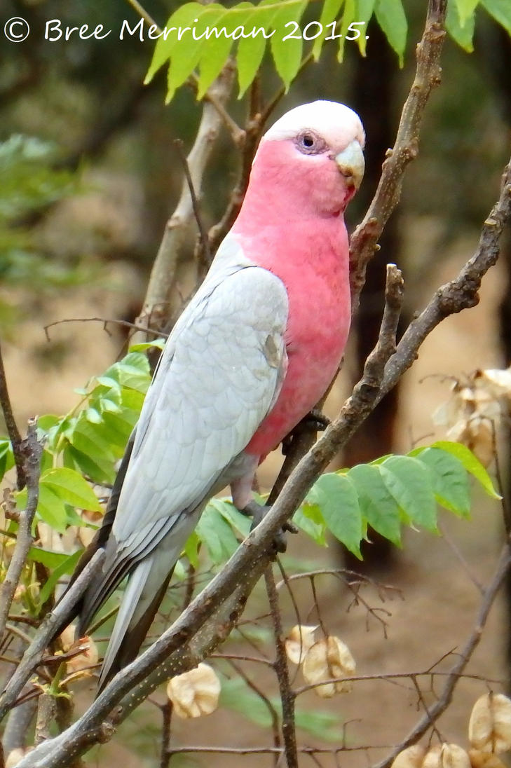 Pink And Gray Galah by BreeSpawn