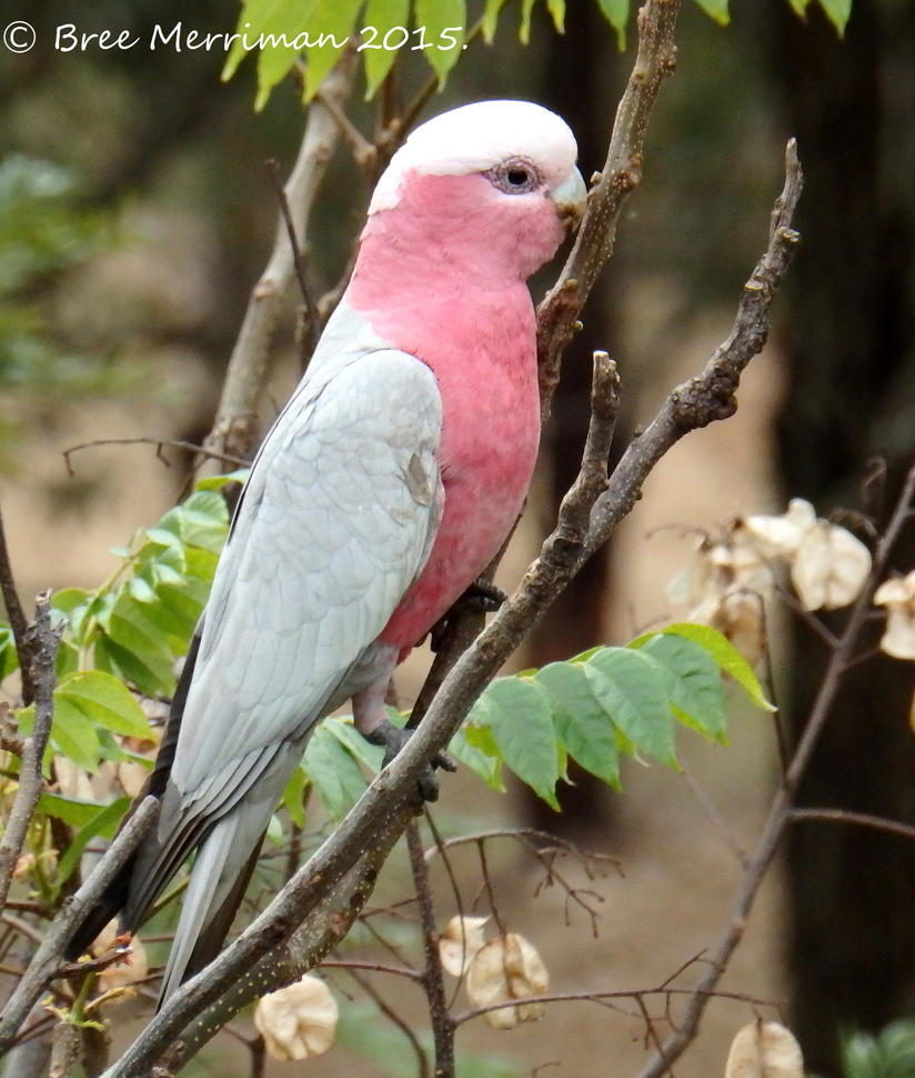 Pink And Gray Galah II by BreeSpawn