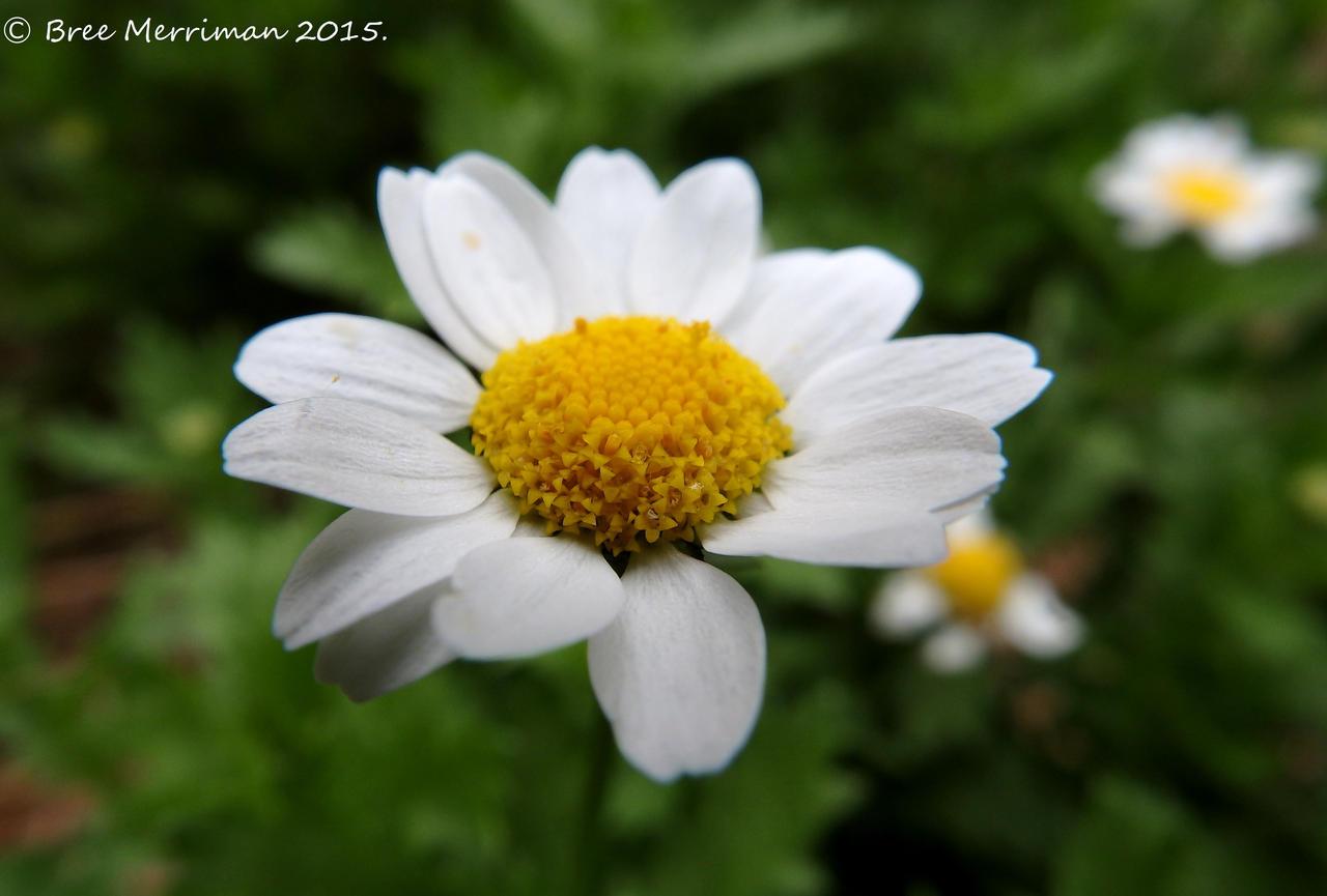 Small White Dasiy by BreeSpawn