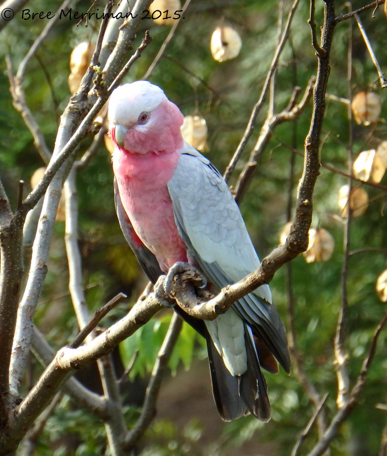 Pink And Gray Galah III by BreeSpawn