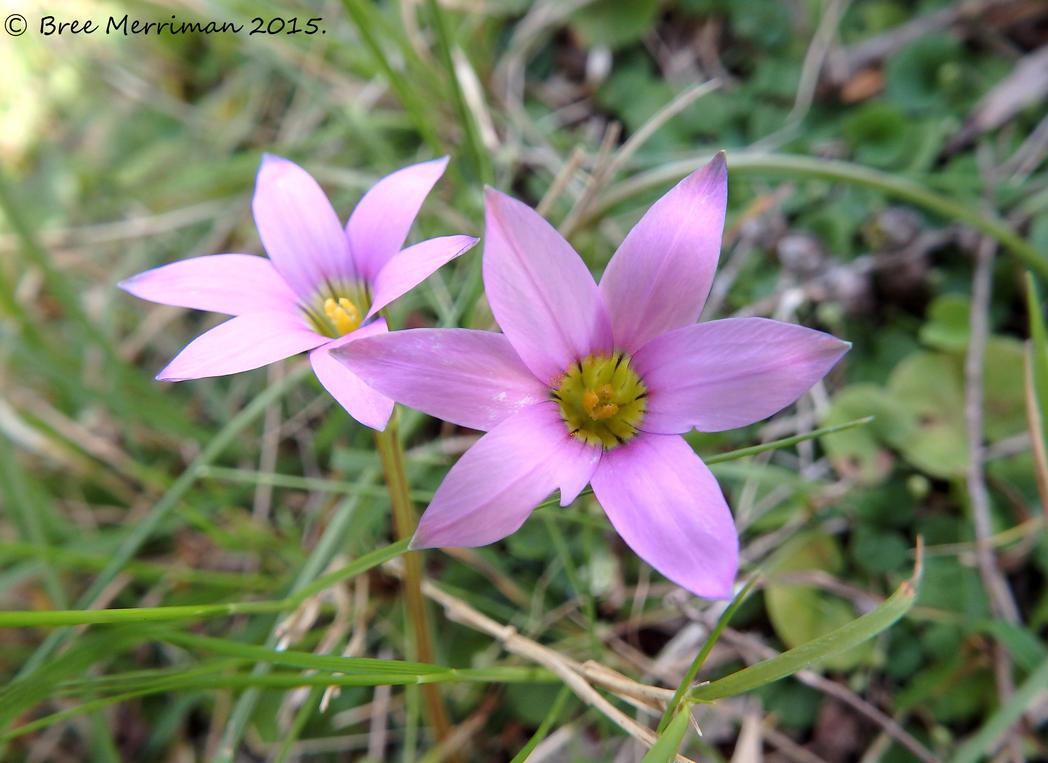 Onion Grass Flowers by BreeSpawn