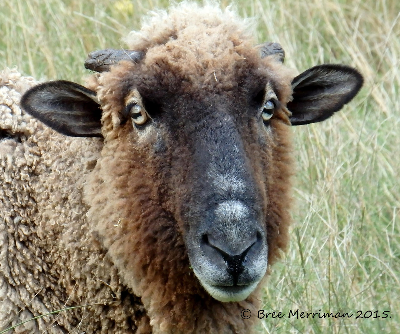 Angus The Sheep by BreeSpawn