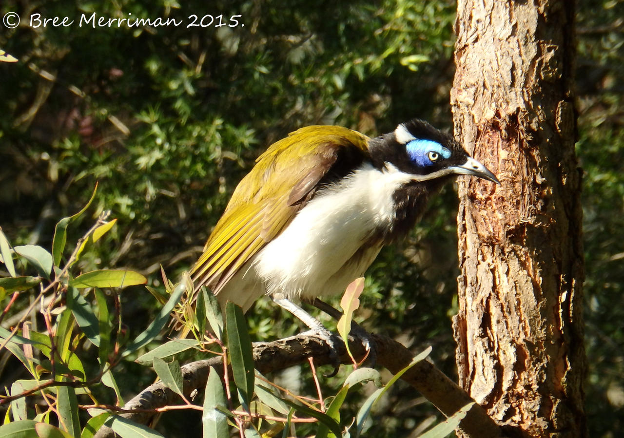 Blue-Faced Honey Eater I by BreeSpawn