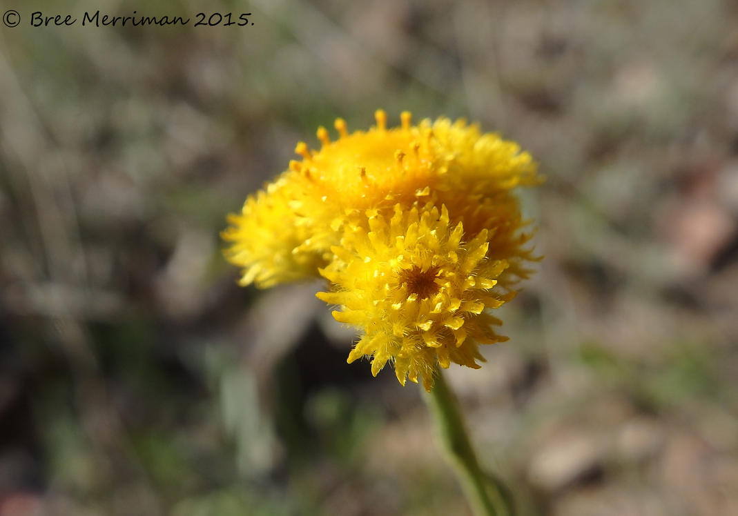 Common Everlasting Flower by BreeSpawn