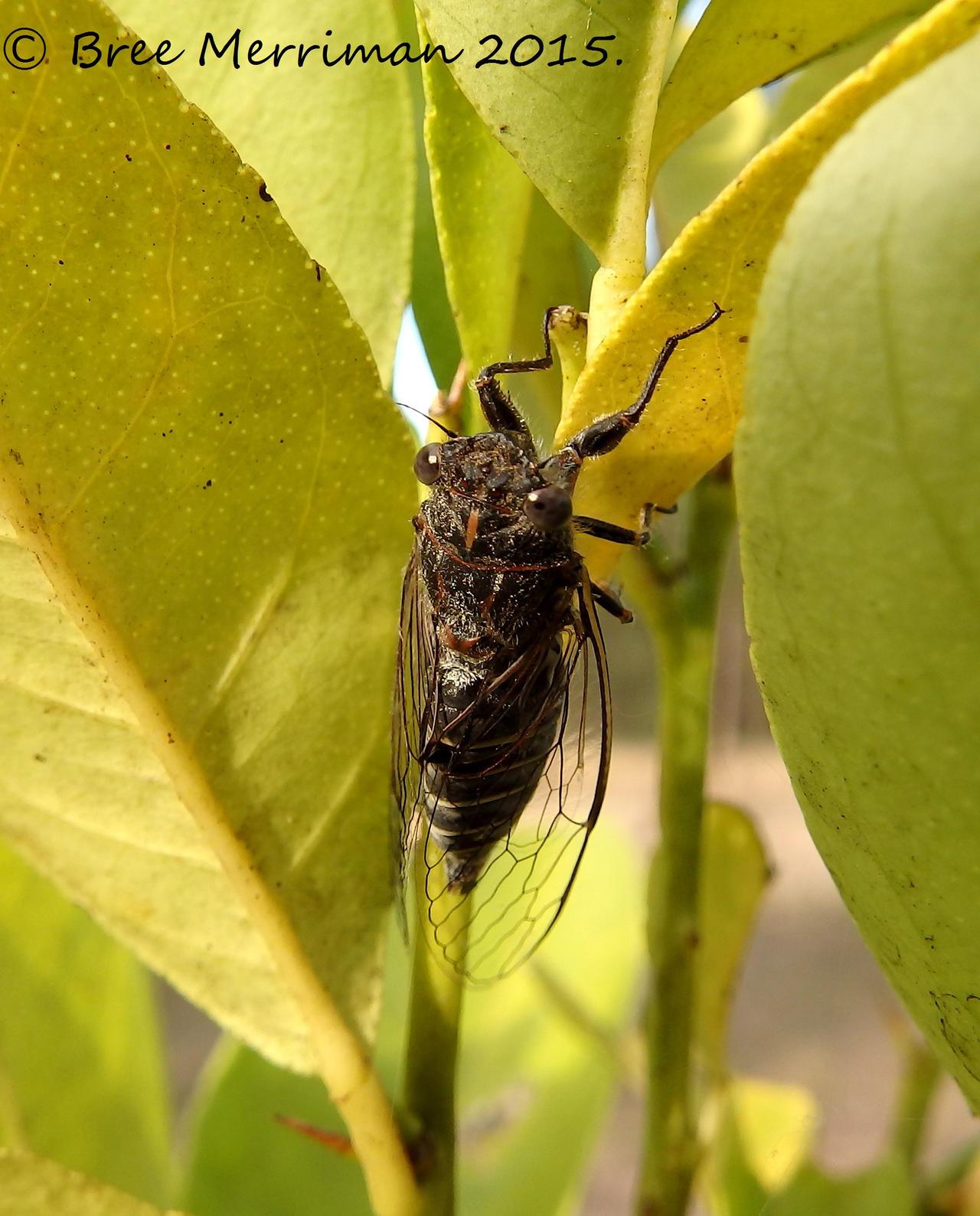 Cicada by BreeSpawn