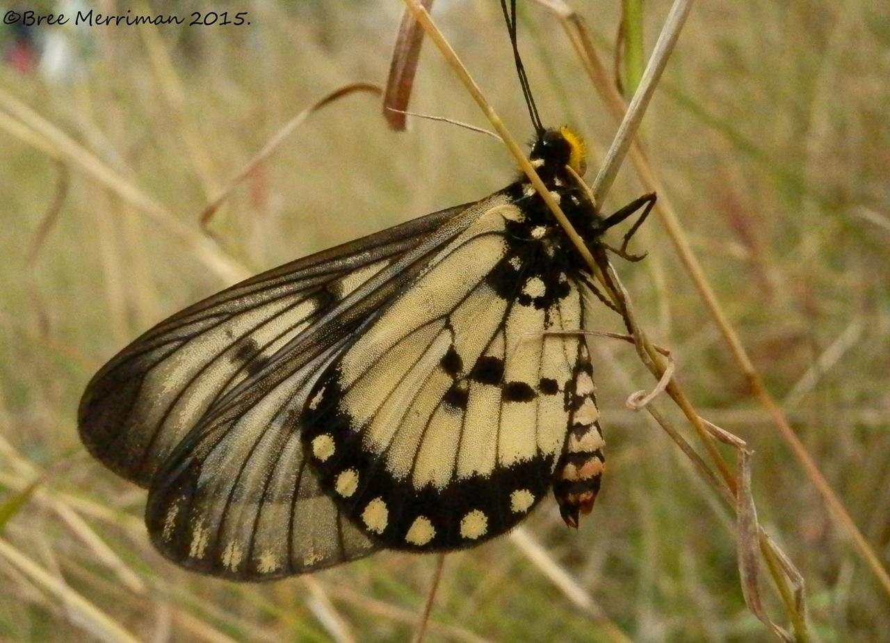 Glasswing Butterfly I by BreeSpawn