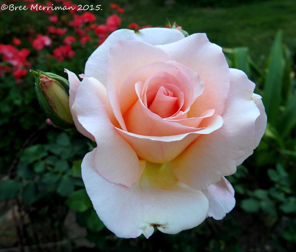 Peach Rose Flower by BreeSpawn