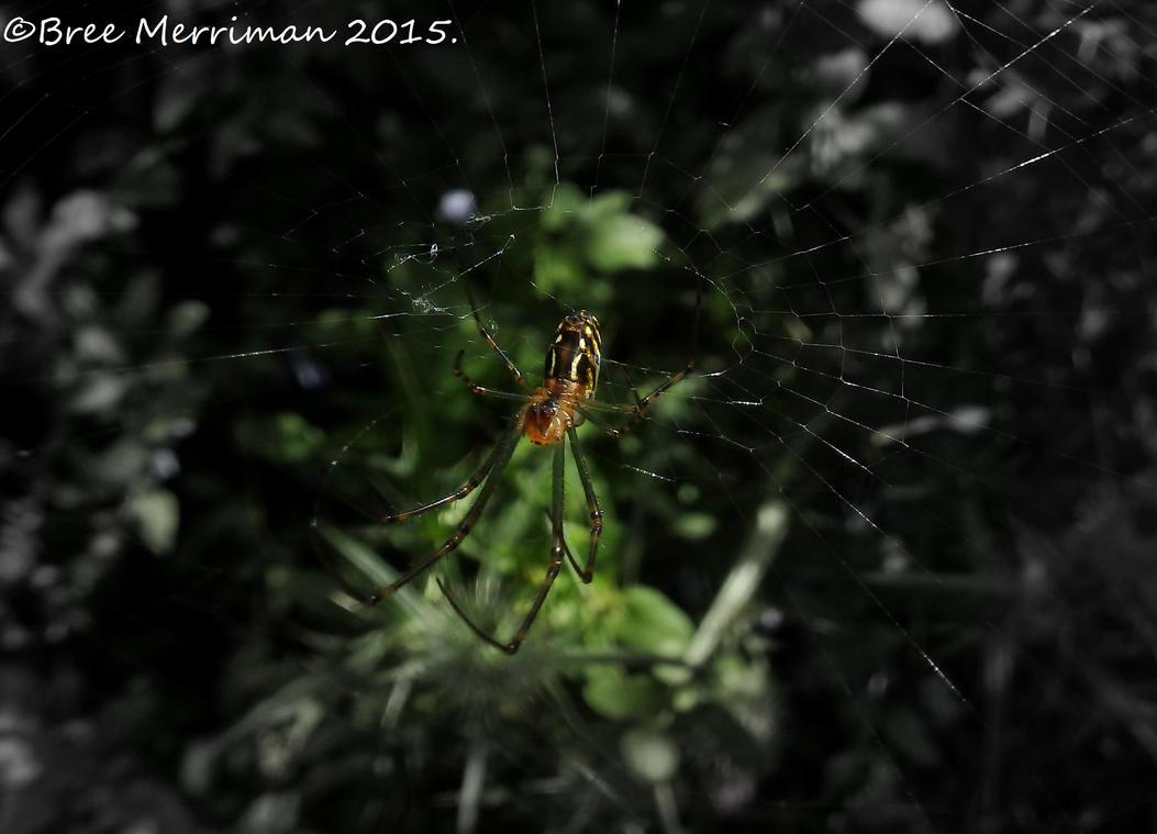 Araneidae Spider I by BreeSpawn