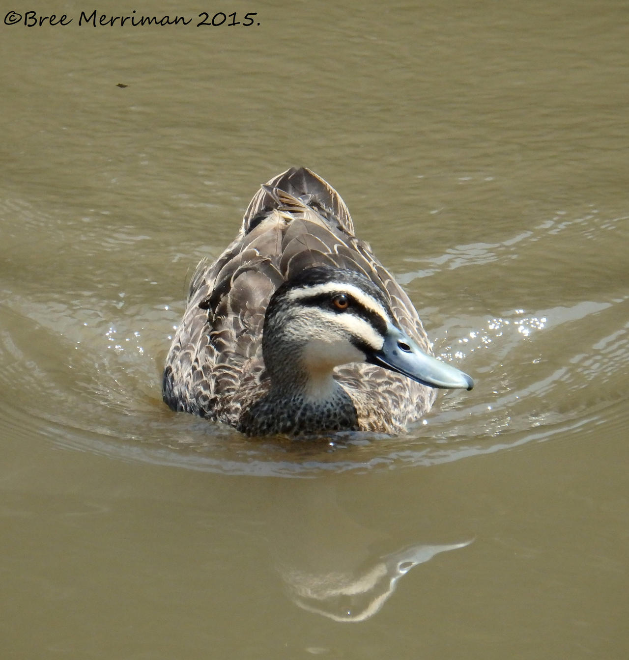 Female Australian Wood Duck by BreeSpawn