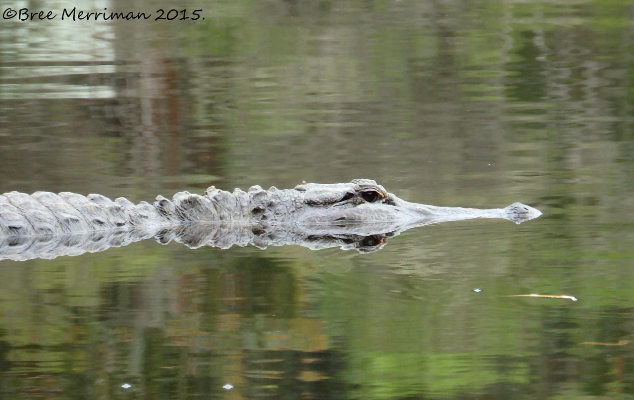 American Alligator by BreeSpawn