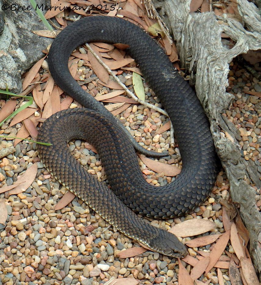 Lowland Copperhead Snake by BreeSpawn