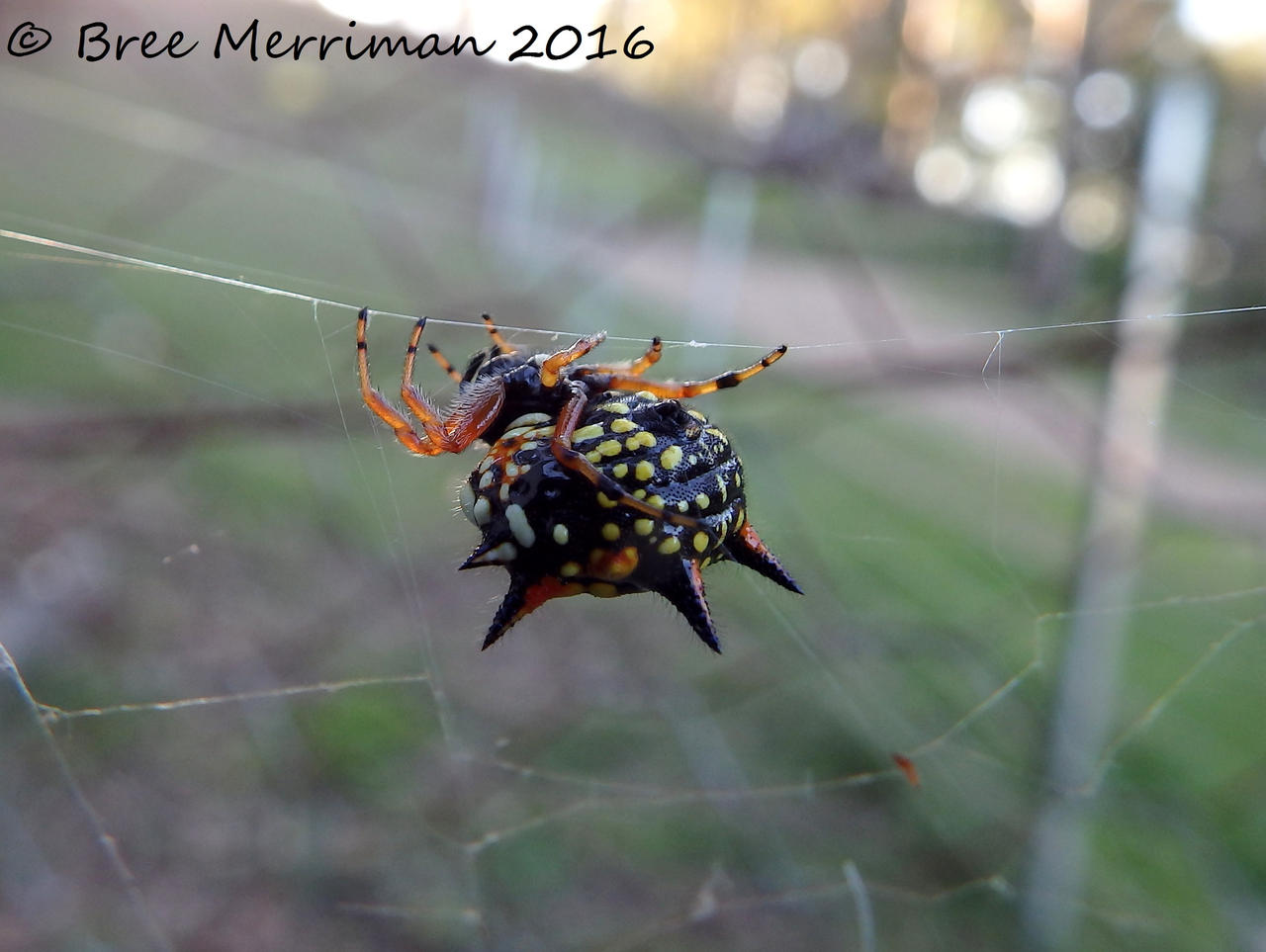 Jewel Spider by BreeSpawn