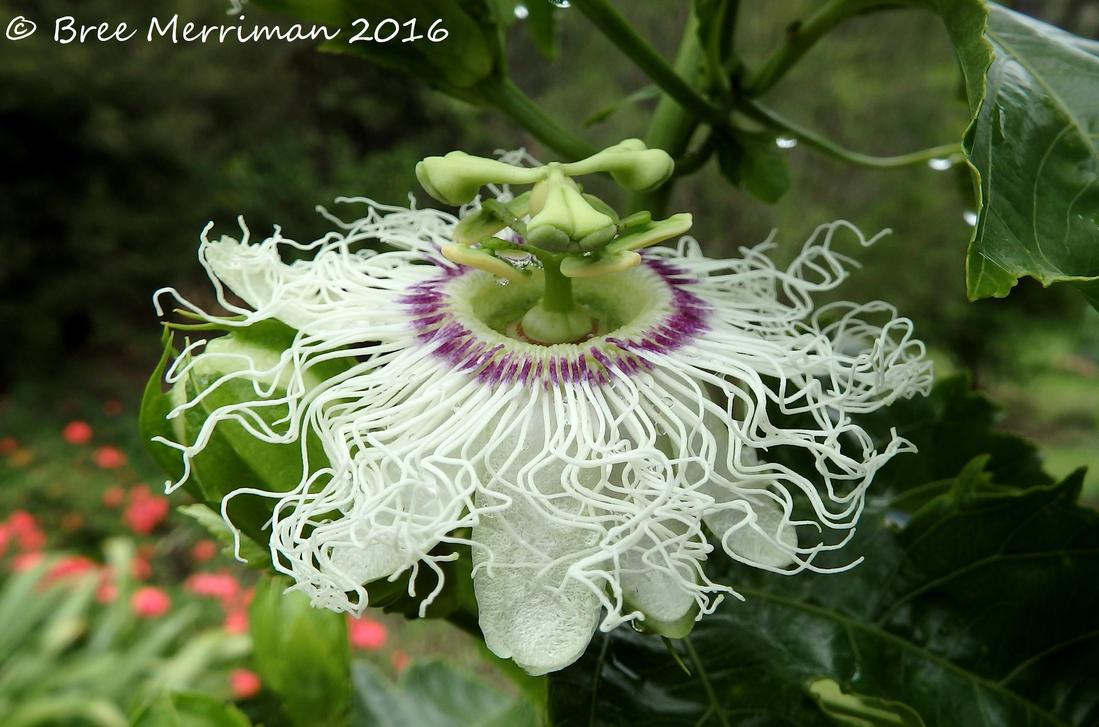 Passion-fruit Flower II by BreeSpawn