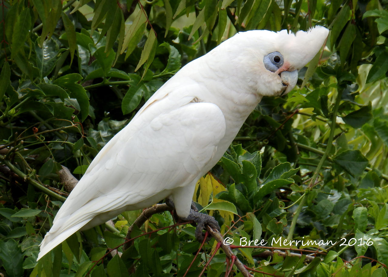 Corella by BreeSpawn